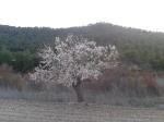 almond blosson