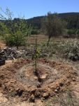 another one of the 4 trees planted in the food forest area