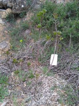 not so happy madrono tree..