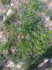 small garden by dining area, fennel was planted. grass also grew