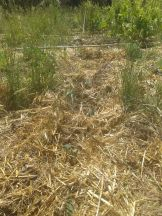 lovely mulched ground in the future food forest where we are applying regenerative agriculture techniques