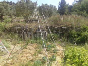 tipees for climbing beans to give shade to ground plants